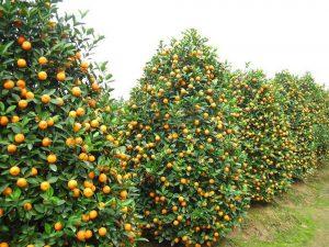 Cây quốc là sản phẩm kinh doanh hoa cây Tết